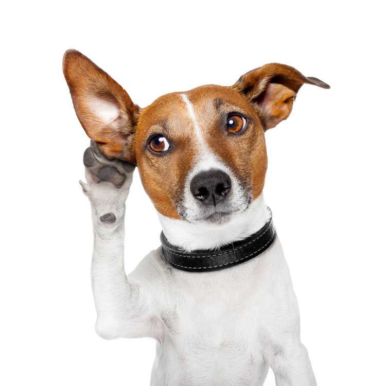 Dog with a paw up to its ear trying to listen